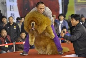 Caine din rasa Mastiff Tibetan