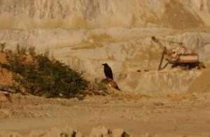 """Un corb sta pe marginea fostei exploatari de cupru de la Rosia Poeni, judetul Alba. Mina de supafata se afla la """"o vale"""" distanta de Rosia Montana. Foto: Striner/Select News"""